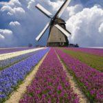 جمال حقول التوليب في هولندا
